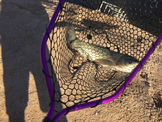 Carp from Canal in Phoenix